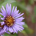 Aster Flower by David Bigelow