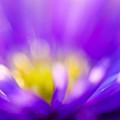 Aster Flower by Silke Magino