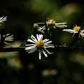 Aster's Branch by Linda Shafer