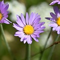 Asters by Chris Gudger