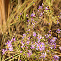 Asters In Autumn by Kunal Mehra