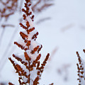 Astilbe Aglow In The Snow by Douglas Barnett