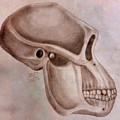 Astralopithecus Afarensis Cranium by Dale Bryant