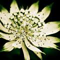 Astrantia In Bloom by Venetta Archer