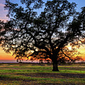 An Oak At Sunset by James Eddy