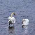 At Your Service. Mute Swan by Jouko Lehto