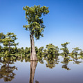 Atchafalaya Cypress Tree by Gregory Daley  MPSA