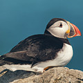 Atlantic Puffin by Tracy Munson