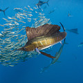Atlantic Sailfish Hunting by Pete Oxford