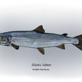 Atlantic Salmon by Ralph Martens