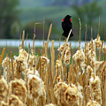 Atop The Cattails by Jenny May