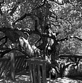 Attack Of The Oak by Douglas Craig
