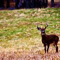 Attentive Buck by Susie Weaver