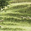 Auckland Sheep Grazing by Larry Dale Gordon - Printscapes