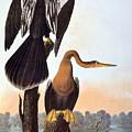 Audubon: Anhinga by Granger