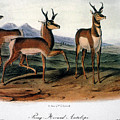 Audubon: Antelope, 1846 by Granger