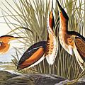 Audubon: Bittern by Granger