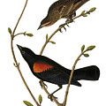 Audubon: Blackbird by Granger