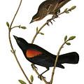 Audubon: Blackbird by Granger