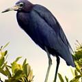 Audubon Blue by Karen Wiles