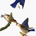 Audubon: Bluebird by Granger