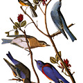 Audubon: Bluebirds by Granger