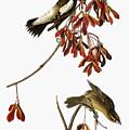 Audubon: Bobolink by Granger