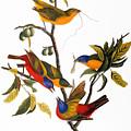 Bunting, 1827 by John James Audubon