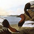 Audubon: Canvasback, 1827 by Granger