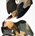 Audubon: Caracara, 1827-38 by Granger