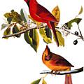 Audubon: Cardinal by Granger