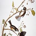 Audubon: Chickadee, (1827-1838) by Granger