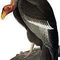Audubon: Condor by Granger