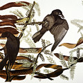 Audubon: Crow by Granger