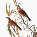 Audubon: Dickcissel by Granger