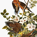 Audubon Dove by John James Audubon