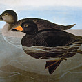 Audubon: Duck, 1827 by Granger