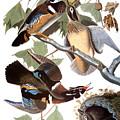 Audubon: Duck by Granger
