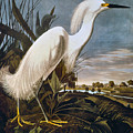 Audubon: Egret by Granger