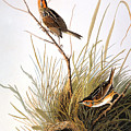 Audubon: Finch by Granger