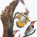 Audubon: Flicker by Granger