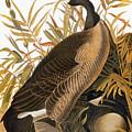 Audubon: Goose by Granger