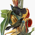 Audubon: Grackle by Granger