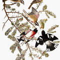 Audubon: Grosbeak by Granger