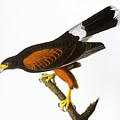 Audubon: Hawk, 1827 by Granger