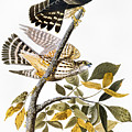 Audubon: Hawk by Granger