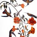 Audubon: Hummingbird by Granger