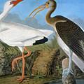 Audubon: Ibis by Granger