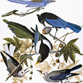 Audubon: Jay And Magpie by Granger