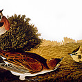 Audubon Lark by John James Audubon